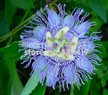 New Arrival!!! 1 bag 20 seeds,Passiflora incarnata, Maypop Vine, purple passion flower, fragrant blooms, easy grow, zones 5 to(China)