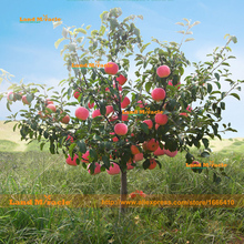 Dwarf Red Apple Tree Seeds, 20 Seeds/pack, World's Most Health 'Fruit King' Apple Seeds Easy-growing Bonsai Fruit