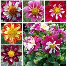 100 pcs  dahlia flower seeds mixed colors rainbow flower seeds for flower pot planters easy grow DIY home garden