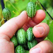 Rare Seeds Thumb Watermelon Seeds Bonsai Plants Mini Watermelon Seeds for Home & Garden NON-GMO Edible Fruit seeds 100 PCS(China)