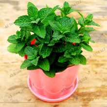 100pcs/bag Mint Seeds potted herb edible seeds in bonsai or pot Organic seeds vegetables for home and garden(China)