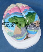 Brain cortex partition model of human brain organs nervous system anatomical model of brain model