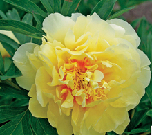 Heirloom Red Yellow Double Blooms Peony Tree Fragrant Flower Seeds, Professional Pack, 10Seeds / Pack, Cold Hardy Paeonia  2017