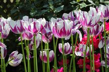 Flower seeds. 10PC sexy crystal violet tulip bulbs. Simple garden plant