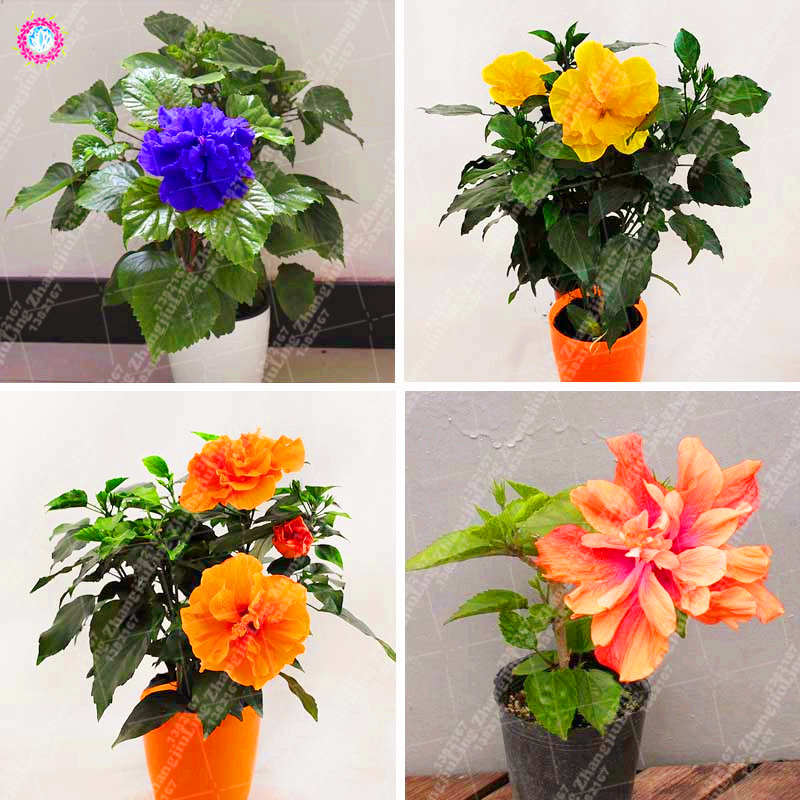 100pcsbag Double Lotus Hibiscus Flower Plant Beautiful Chinese