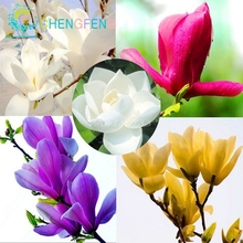 30 pcs magnolia seeds for home garden rare tree seeds DIY orchid plant tree flowers pot seed 2016 ornamental-plant gift for men