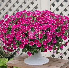 Free shipping Petunia seeds shuttlecock flower horn sweet potato flower bonsai Petunia flowers seeds - 100 seeds