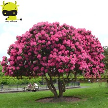 Giant Pink Sakura Cherry Blossom Tree Seed, 5 Seeds/Pack, Very Beautiful Oriental Cherry Tree Perennial Shrub Plants