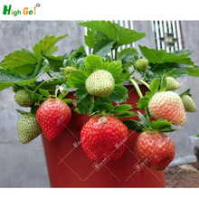 Rare strawberry seeds,9 Selection,home Garden Perennial plant flowers, Bonsai tree supplies,garden supplie