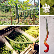 10 Seeds/Pack Snake Melon Serpent Gourd Seeds Trichosanthes anguina Ornamental Fruit And Funny Vegetables Seeds Diy Home Garden
