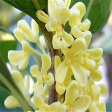 10 pcs Courtyard fragrant flower seeds, Perennial osmanthus fragrans seeds, seeds mixed color flower sementes garden