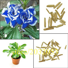 5pcs True Adenium Obesum Seeds Blue with White Side Desert Rose Flower Plant Seeds Amazing Color Bonsai