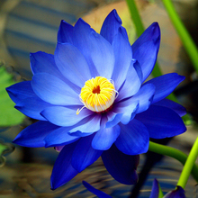 1 Professional Pack, 40 Seeds / Pack, New Fresh Nelumbo Nucifera Blue Lotus Seeds Water Plants #NF152