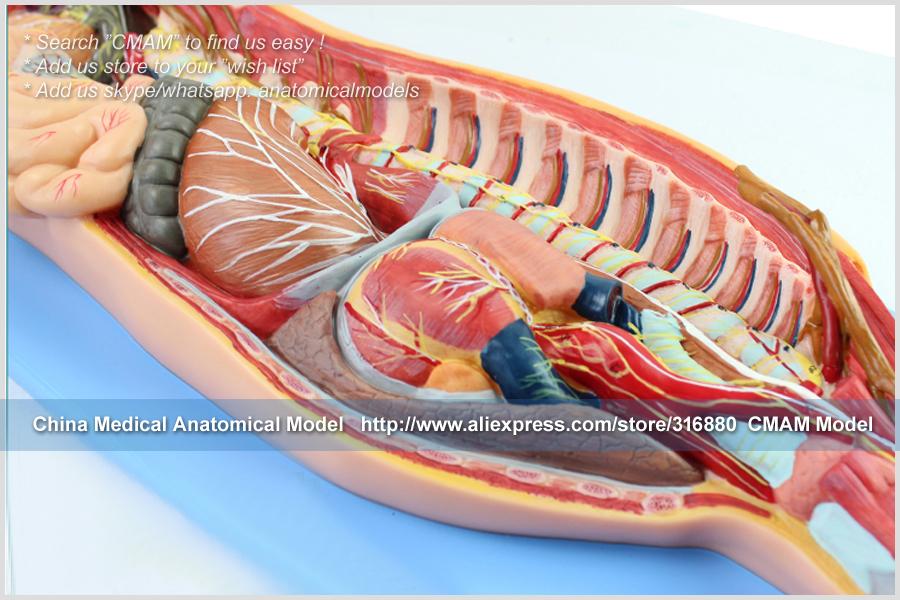 CMAM-TM65081 Sympathetic Nervous System 12
