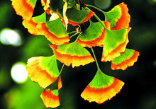 5 PCS Rare Rainbow Ginkgo Seeds Perennial Flowers Seeds Beautiful Potted Plant Seeds Easy to Grow