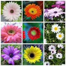100pcs Gerbera Seed, Indoor Bonsai Plant Flower Seeds Perennial Garden Chrysanthemum Easy to Grow Mixed Colors(China)