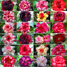 Factory direct supply!12 pcs/bag Genuine Adenium obesum Seeds Desert Rose Flower Seed, 100+ kinds mixed bonsai plant for garden