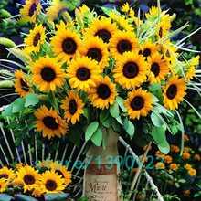 40pcs/bag 8 colors sunflower seeds Organic Helianthus annuus seeds ornamental flower seed sunflower painting for home garden
