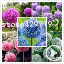 100 Giant Allium Giganteum Graines Vivace Perennial Violet Magenta Fleur Boule Seed pompon for bonsai seeds(China)
