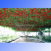 1 Pack, 50 seeds / pack, Perennial Tomato Giant Trees, Outdoor Greenhouse Available, Heirloom Tomato Seeds(China)