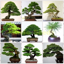 1Bag=100pcs Japanese pinus Seeds bonsai Potted rare mini pine tree seeds green gift DIY Home & Garden decoration free shipping(China)
