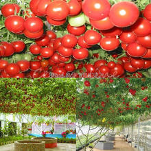50pcs A Pack Huge Tree Sweet Tomatoes Seeds Fruit Vegetable Garden Home Courtyard Cooking Salad Free Shipping