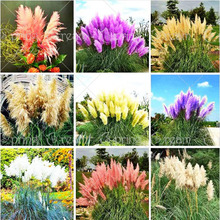 400pcs Beautiful Flowers seed Rare Purple Pampas Grass Garden plant Flowers Flower seeds Home & Garden Free Shipping(China)