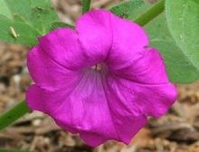 50seeds/pack LAURA BUSH GLOWING MAGENTA PETUNIA FLOWER plant SEEDS easy grow / ANNUAL Little Garden