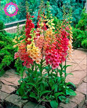100PCS Fritillaria Foxglove Digitalis Seeds Potted Flower Seeds Bonsai Garden Plants DIY Home Garden(China)