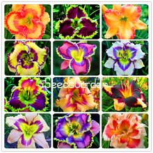 Promotion! 100 Pieces/Bag Hybrid Daylily Flowers Seeds Hemerocallis Lily Indoor Bonsai Home Garden Supplies