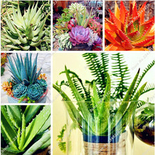 Hot Sale!!! 100 pcs/bag Aloe Seeds Potted Ornamental Medicinal Plant Succulent Seeds,Bonsai Seeds for Home Garden Potted Plant(China)