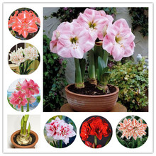 1 Pcs True amaryllis bulbs,Japanese hippeastrum beautiful flower bulbs,Barbados Lily bulbs,attractive butterfly light up garden