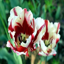 New varieties 120PCS White & red stripe pattern petals tulip flowers Bulgarian high-grade seed plants(China)