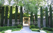 100 pcs italy cypress tree seeds tree seeds for home garden planting beautiful need tree seeds free shipping price low(China)