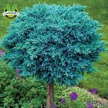 20 Colorado Blue Spruce (Picea Pungens )Tree Seeds Beautiful color evergreen conifer Blue Star juniper