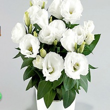 Eustoma Seeds Perennial Flowering Plants  Potted Flowers Seeds Lisianthus  100 seeds free ship