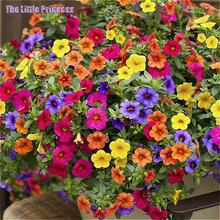 2017 sale 20 pcs Black Eyed Thunbergia Seeds Attract bees butterflies Exotic Flower Garden Very Beautiful Flower Garden Plant .