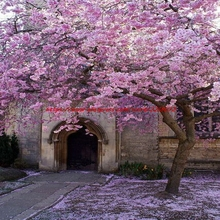 10 Pink Stuffed Weeping Cherry Tree Seeds DIY Home Garden Dwarf Tree Seeds Multi-Year Free Cargo