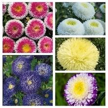 Астра цветы выращивание из семян 87