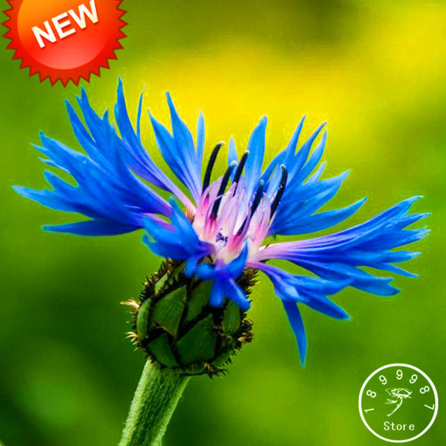 New Fresh Seeds Blue Cornflower Centaurea Cy Balcony Patio Garden Flowers Potted Bonsai Plant Seed