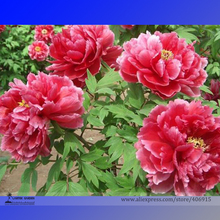 Rare 'Cao Zhou Hong' Fresh Red Peony Tree Flower Seeds, Professional Pack, 5 Seeds / Pack, Strong Fragrant Flowers E3259