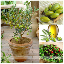 Free Shipping 3pcs mini bonsai Tree olive seeds , edible fruit and vegetable seeds, genuine seed(China)