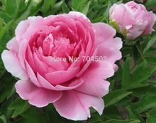 FD698 20 Seeds Chinese Pink Peony Flower Seed Beautiful Hot Flora Garden 20pcs
