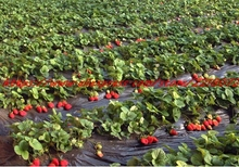 500 Red Strawberry Seeds, Easy Grow 90 days Harvest Organic Fruit Seeds,a lot of promotions red strawberry seed