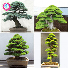 10pcs/bag rare tree seeds for home bonsai Red Organic JAPANESE CEDAR Semillas evergreen deodara wood indoor seeds potted(China)