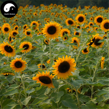 Buy Helianthus annuus Seeds 300pcs Plant Sunflower