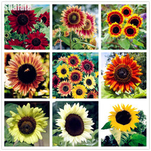 20 Pcs Lovly Rainbow Sunflower Seeds Giant Big Flower Seeds Black Sunflower Russian Sunflower Seeds For Home Garden(China)