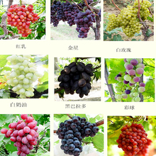 2017 Top Fashion Rushed Plants Semillas De Flores Mixed 30 Seeds/pack Grape Fruit Seed Tree Seedlings Potted Kyoho Mention Child