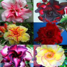 30pcs /pack Mixed 6 Types Multi-Layer Cheap Adenium obesum Desert Rose Seeds - Home Garden Bonsai Flower Plants Seed