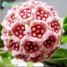 100PCS Rare Ball Orchid Flower Seeds Perennial Garden Plant Hoya Carnosa Flower Seeds 21 Color Available(China)